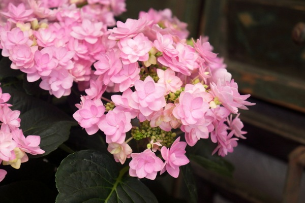 Hydrangea macrophylla You&Me Romance flower close-up