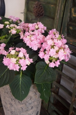 Hydrangea macrophylla You&Me Romance on patio