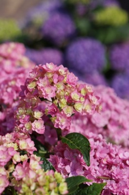 Hydrangea macrophylla You&Me Together flower image