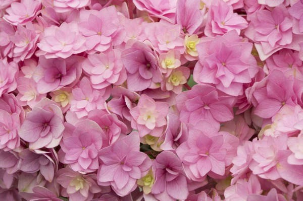 Hydrangea macrophylla You&Me Together flower close-up