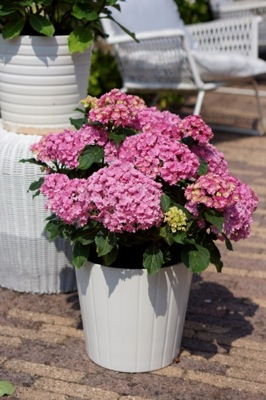 Hydrangea macrophylla You&Me Together in pot