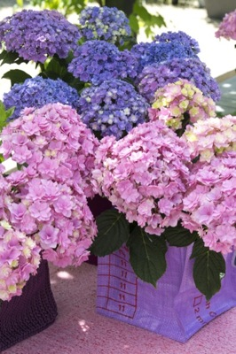 Hydrangea macrophylla You&Me Together on patio