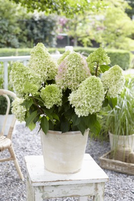 Hydrangea paniculata Little Fraise on patio