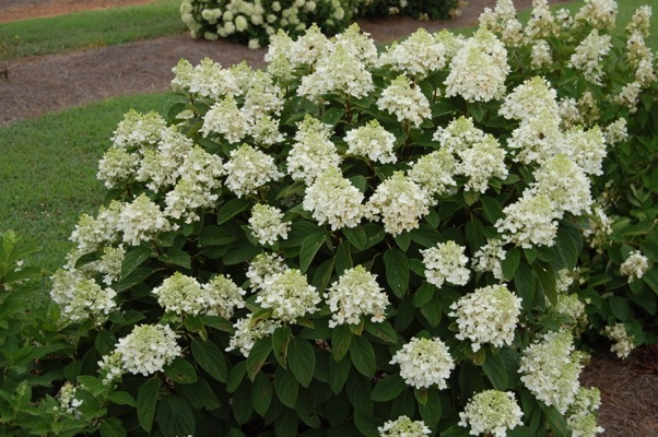 Hydrangea paniculata Baby Lace flower image