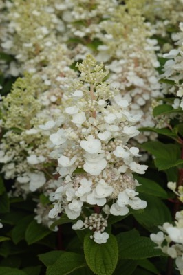 Hydrangea paniculata Baby Lace flower close-up