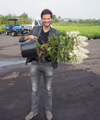 Hydrangea paniculata Baby Lace in pot