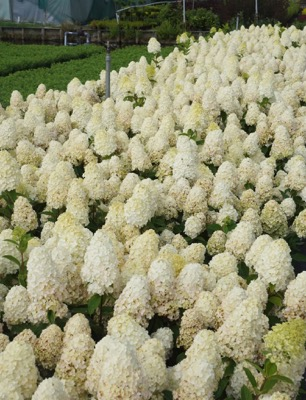 Hydrangea paniculata Baby Lace with nursery
