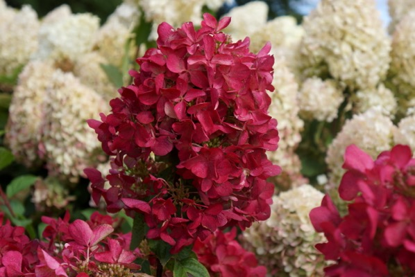 Hydrangea paniculata Diamant Rouge® flower close-up