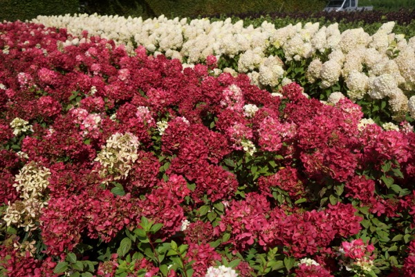 Hydrangea paniculata Diamant Rouge® with nursery