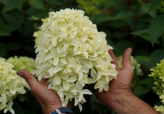 Hydrangea paniculata Skyfall flower close-up