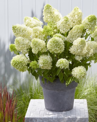 Hydrangea paniculata Skyfall on patio