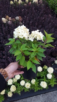 Hydrangea paniculata Little Spooky in pot