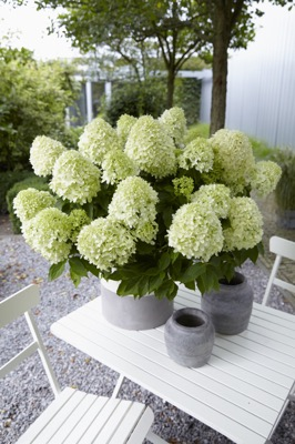 Hydrangea paniculata Little Spooky on patio