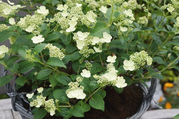 Hydrangea paniculata Prim'White® flower close-up