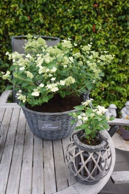 Hydrangea paniculata Prim'White® on patio