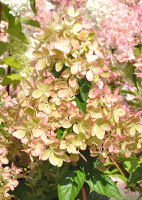 Hydrangea paniculata Pastelgreen® flower close-up
