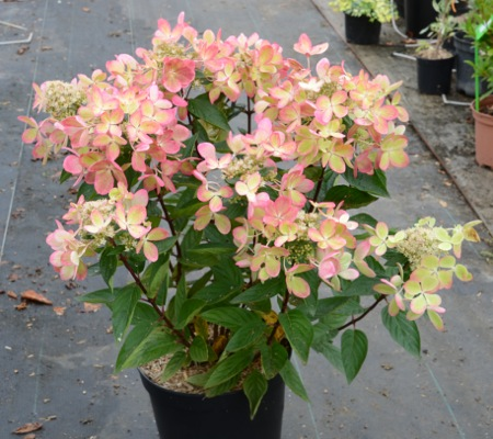 Hydrangea paniculata Pastelgreen® in pot
