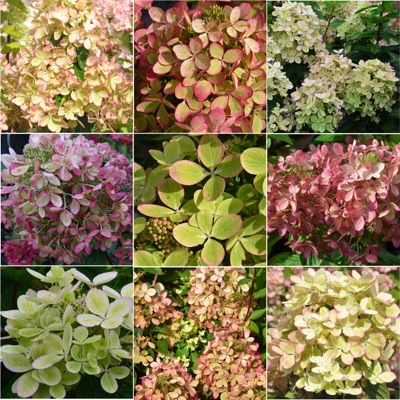 Flyer of Hydrangea paniculata Pastelgreen®