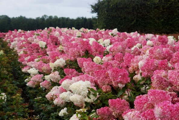 hydrangea paniculata vanille fraise 39 renhy 39 pbr plantipp. Black Bedroom Furniture Sets. Home Design Ideas