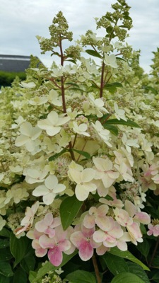 Hydrangea paniculata Confetti flower close-up