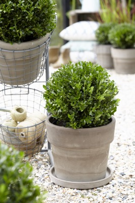 Ilex LUXUS® Globe on patio