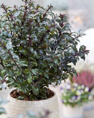 Ilex Gentle on patio