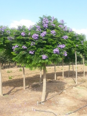 Jacaranda Bonsai Blue with nursery