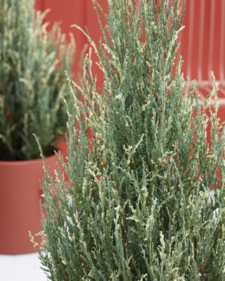 Juniperus Blue Ivory foliage