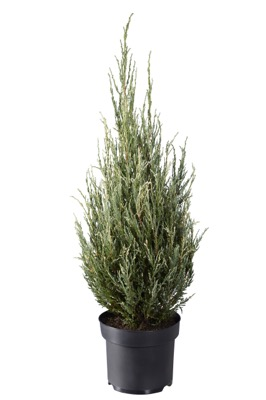Juniperus Blue Ivory in pot