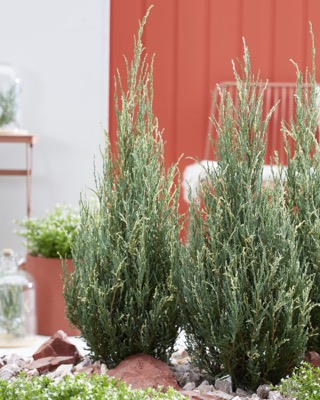 Juniperus Blue Ivory in garden