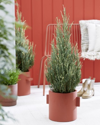 Juniperus Blue Ivory on patio