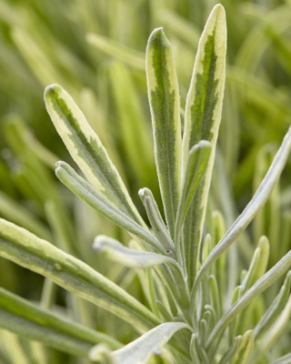 Lavandula Platinum Blonde foliage close-up