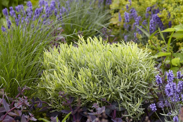 Lavandula Platinum Blonde in garden