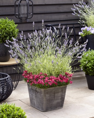 Lavandula Platinum Blonde on patio