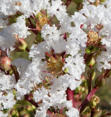 Lagerstroemia With Love Virgin flower close-up