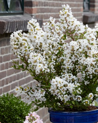 Lagerstroemia With Love Virgin on patio