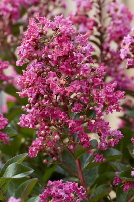 Lagerstroemia Berry Dazzle flower close-up