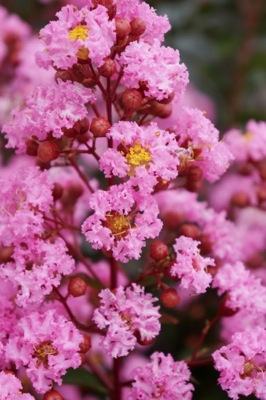 Lagerstroemia Eveline flower close-up