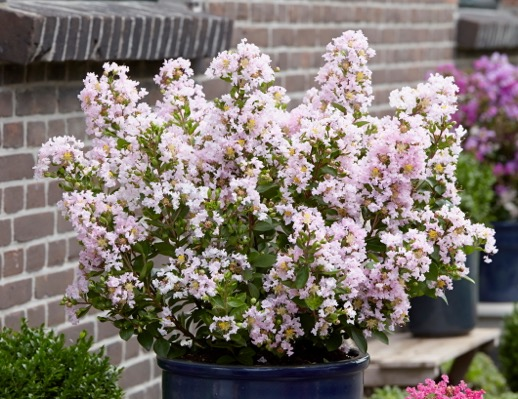 Lagerstroemia With Love Babe on patio