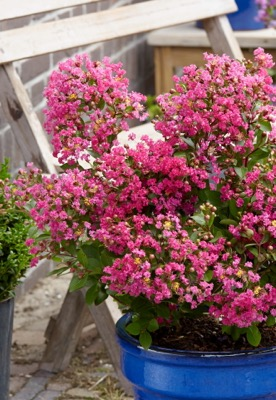 Lagerstroemia With Love Kiss on patio