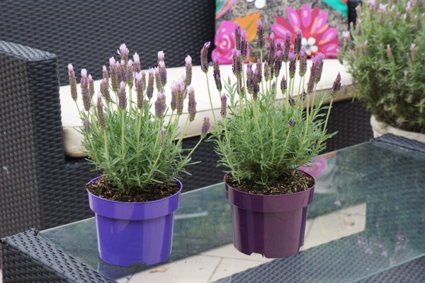Lavandula Lusi Pink on patio