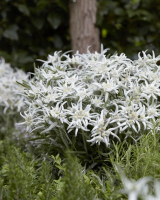Leontopodium Blossom of Snow in garden