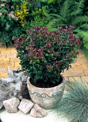 Leucothoe Curly Red in pot