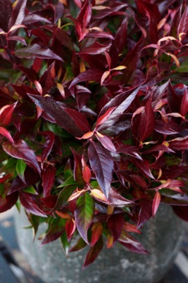 Leucothoe Red Lips® foliage
