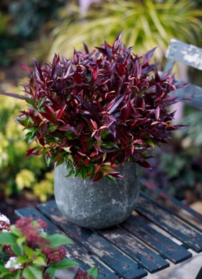 Leucothoe Red Lips® on patio