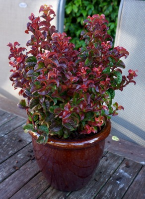 Leucothoe Twisting Red® in pot