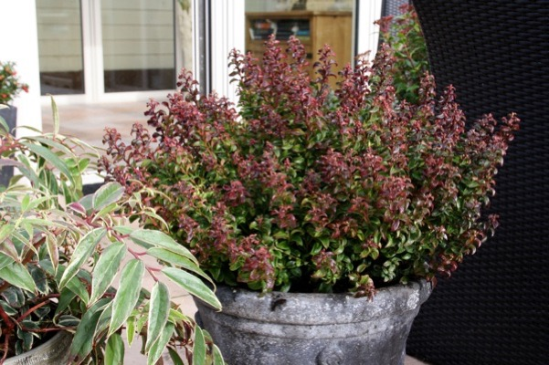 Leucothoe Twisting Red® on patio
