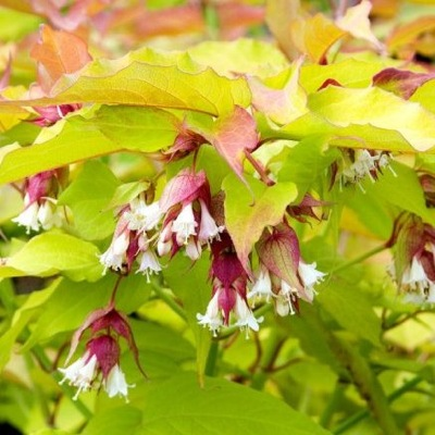 Leycesteria Golden Lanterns flower image