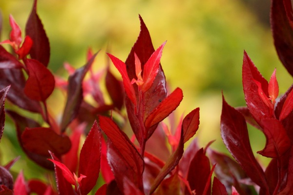 Leucothoe Little Flames foliage close-up