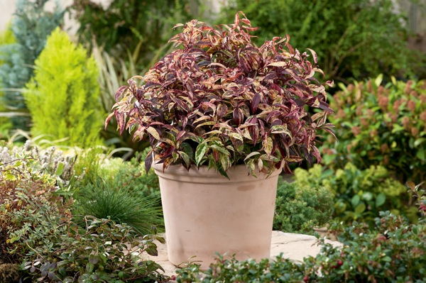 Leucothoe Makijaz in pot